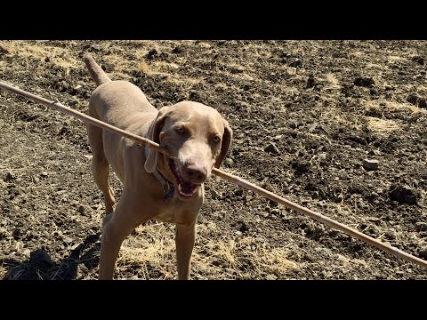 Playing With My Oversized Stick | Otis The Weimaraner