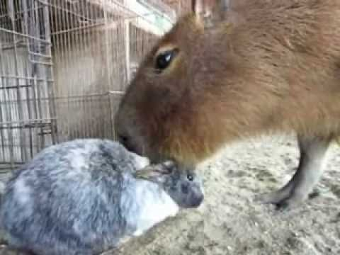 Capybara Sucks on Bunny's Ears Fetish FAIL thumbnail