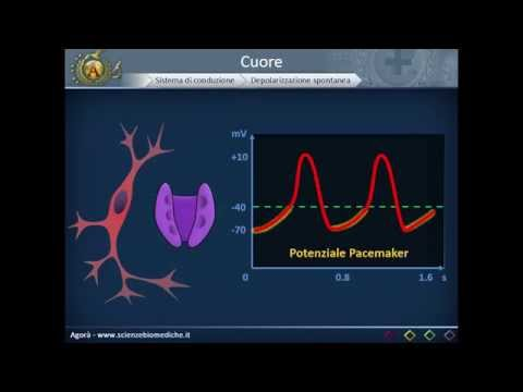 Apparato cardiocircolatorio 04: Sistema di conduzione del cuore