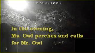Mr. and Ms. Owl Perch and Call 2017-01-16