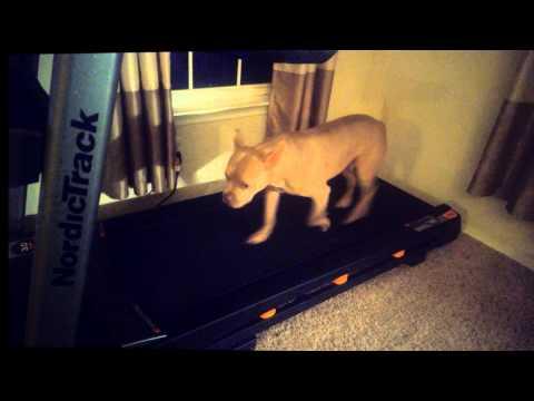 Pit Bull Trains on Treadmill (No Leash)