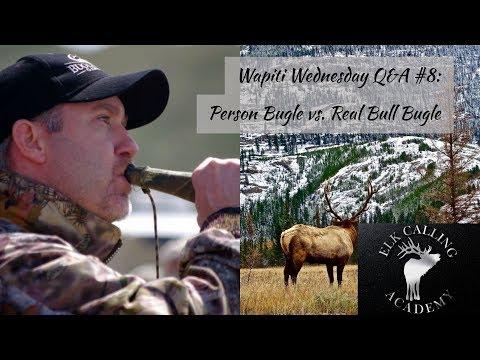 Person Bugling vs. Real Bull Elk Bugle | Wapiti Wednesday Q&A - Episode 7