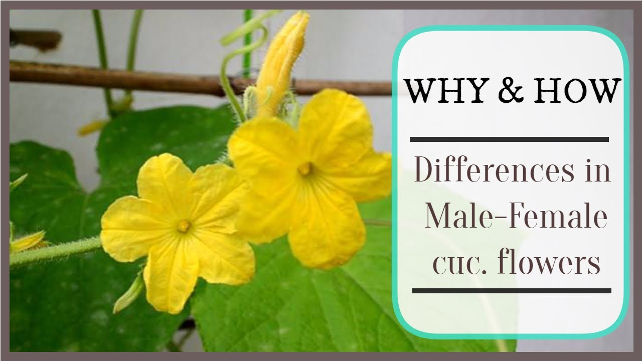 Why Male And Female Cucumber Flowers Look Different Explained