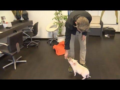 Download Minischwein Rudi erheitert Kundschaft in Bremer Friseursalon