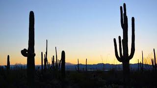 Самые высокие в мире цветущие кактусы в пустыне