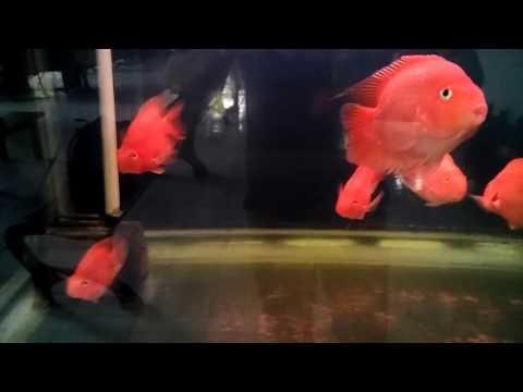 IKAN HONGSUI RED PARROT FISH HIBRID FRESH WATER TANK VIEW