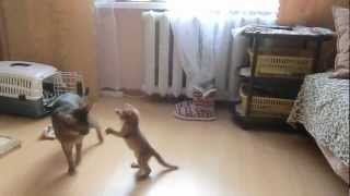 Смешные абиссинские коты