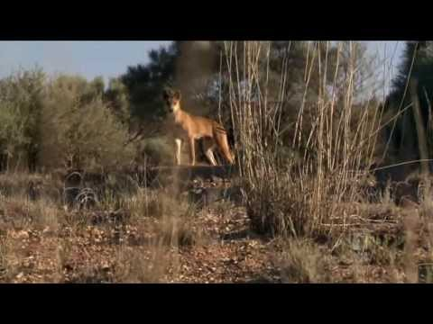 Dingo: Wild Dog At War