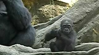 上野動物園のニシローランドゴリラの赤ちゃんコモモ-ひとり遊び。 ーど...