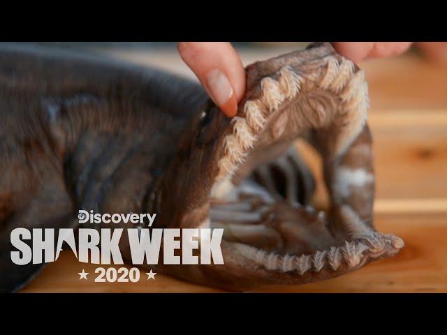 Examining a Rare Frilled Shark! | Shark Week