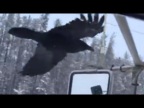 Raven spots favorite truck driver, follows him to next location
