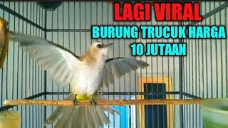 Download Lagu SUARA BURUNG TRUCUKAN PALING MERDU DI DUNIA mp3