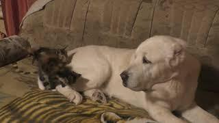 Набира и котята Мейн-Куны