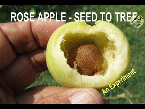 How to Grow Roseapple Tree from Seed  | Roseapple seed Germination Gulabi Jaam