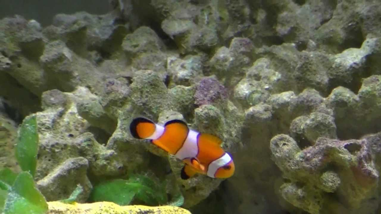 how to get clownfish to host bubble tip anemone