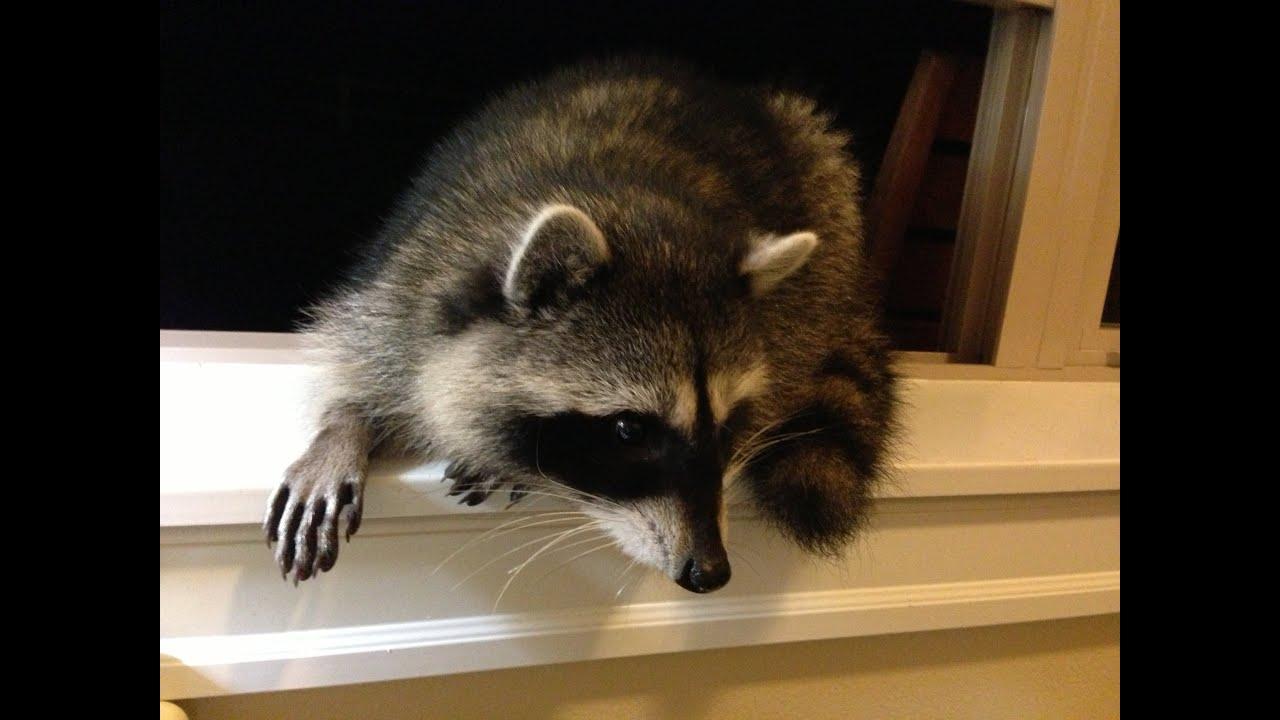 Metatrader 4 sounds a raccoon