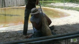 Trainer Helpless in an Alligator