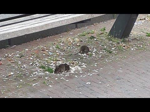 Rattenplaag op Eudokiaplein in Rotterdam
