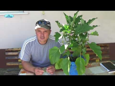 Как сформировать куст баклажана в теплице видео