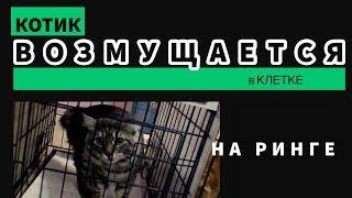Кот возмущается! Поведение в клетке Курильского Бобтейла.
