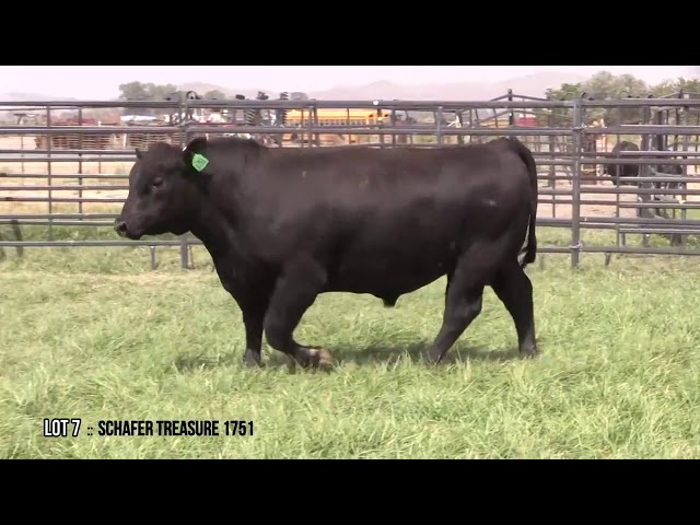 Mid Valley Bull Sale Lot 7
