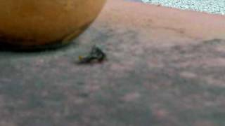 flies having sex DOGGY STYLE