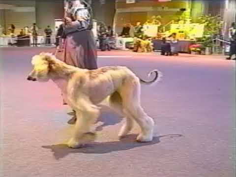 Afghan Hound Club of America 1996 National Specialty DOG CLASSES: 6-9 Puppy thru WD