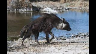 Бурые гиены. Все что известно об этих животных