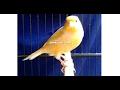Suara Burung Kenari Jawara Mandor Kawat Milik Om Yayan Ppkt Di Blog Om Kicau Ngeban(.mp3 .mp4) Mp3 - Mp4 Download