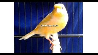 suara burung kenari jawara mandor kawat milik om yayan ppkt di blog om kicau