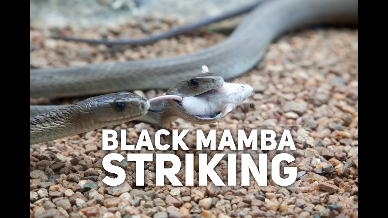 black mamba striking youtube