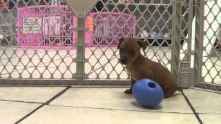 Miniature Pinscher, Puppies, For, Sale, In, Allegheny, Pennsylvania, Pa, Bucks, Chester, County, Ber