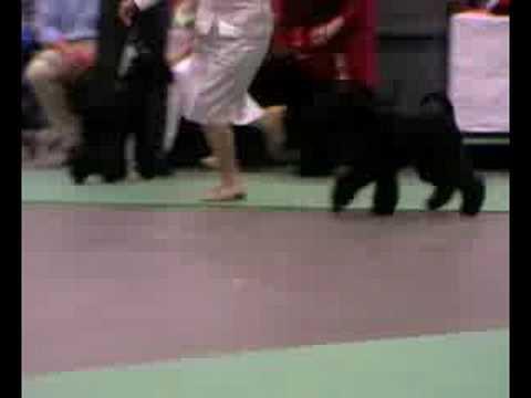 World Dog Show 2008, kerry blue, females jun1