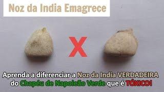Noz da India Verdadeira e Chapéu de Napoleão Verde: Aprenda a diferenciar - NozDaIndiaEmagrece.com