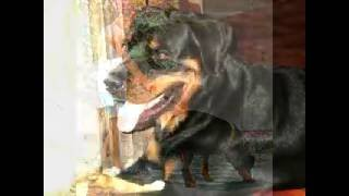 "This Video Previously Contained A Copyrighted Audio Track. Due To A Claim By A Copyright Holder, The Audio Track Has Been Muted.     Rottweiler Name "" Matoy """