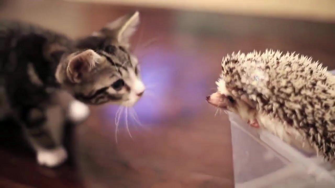 Funny cat videos for kids   Cat vs Hedgehog 2016 ... Funny Cat Videos For Kids