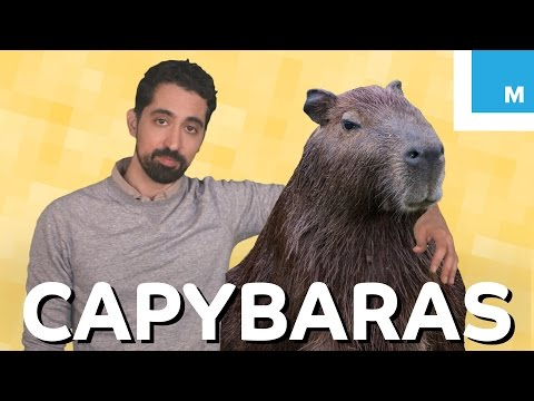 What is a Capybara and Why is it So Chill? | Mashable Explains
