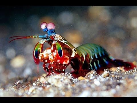 Mantis Karidesleri Hakkında İlginç Bilgiler