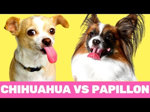 Funniest Chihuahua vs Papillon Moments 2019