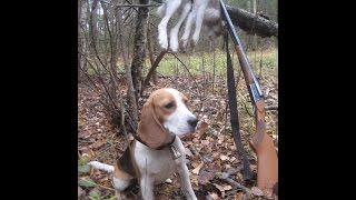 Охота на зайца с биглем