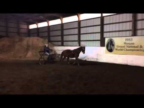 Hackney pony for sale