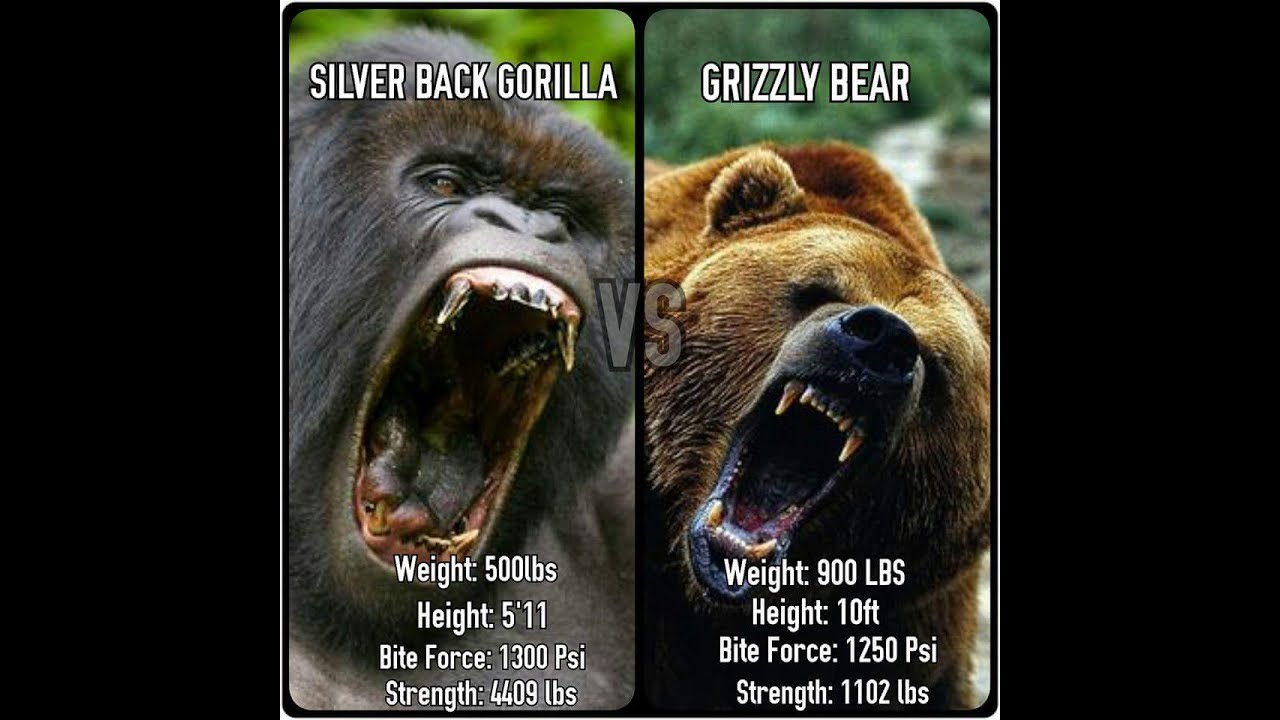 Grizzly bear vs silverback gorilla who would win youtube grizzly bear vs silverback gorilla who would win publicscrutiny Choice Image
