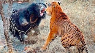 虎と虎、野生の猪、バッファロー、クマ、鹿、犬、ワニ、ライオン、パイ...
