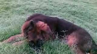 Dogs India: 3.5 Month German Shepherd Puppy Tired Of Playing Hides In Grass: Www.dogzone.in