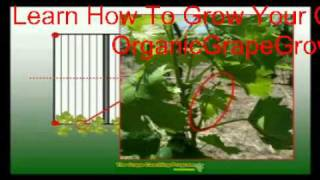 Learn How To Grow Grapes On A Grape Arbor - Diy