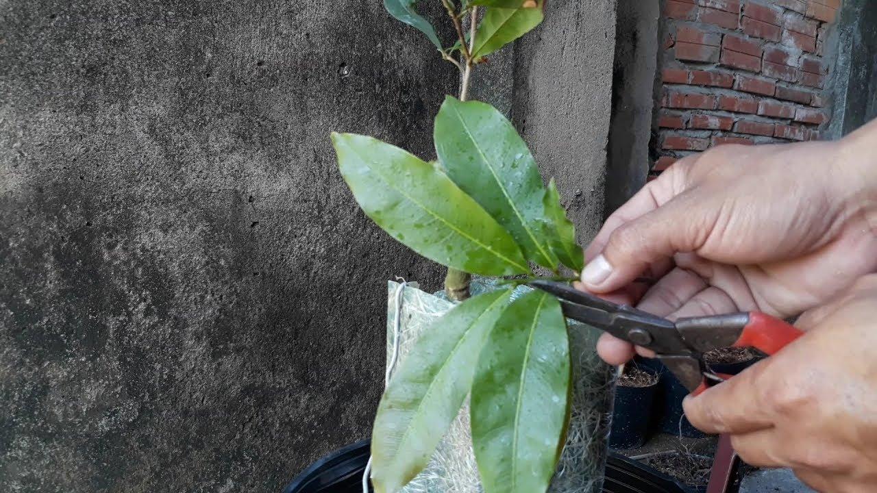 Thời điểm nào ghép mai vàng thích hợp nhất và kỹ thuật ghép chồi cho cây mai cực chuẩn