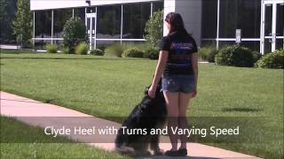 "5yo German Shepherd ""clyde"" Before And After Video - Dog Training Raleigh Durham"