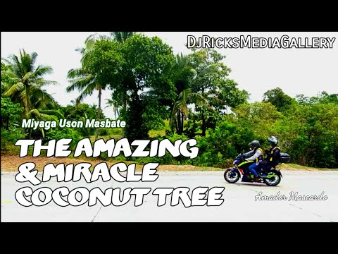 The Amazing & Miracle Coconut Tree In MASBATE | By Amador Mascardo