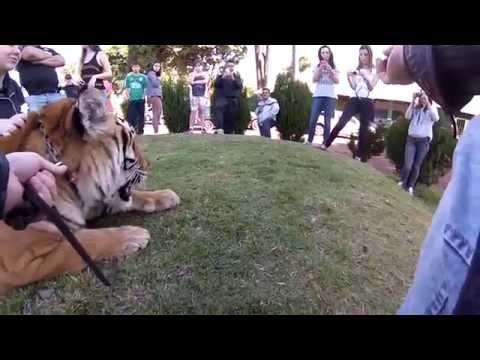 Taking pictures with  tiger (Tirando fotos com um tigre em Maringá - Brazil)