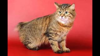 Той-бобтейл (Toy Bobtail cat) породы кошек( Slide show)!